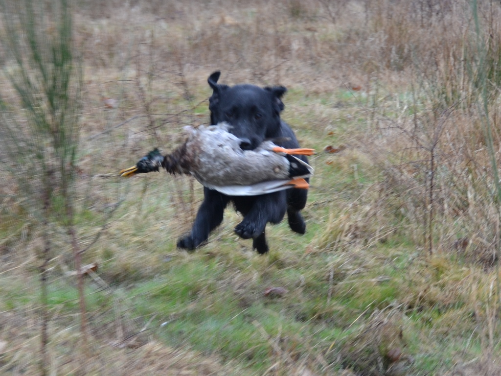 Index_Labrador_Retriever_chasse_Sologne_Hunters.JPG