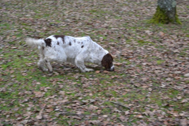 Laneth Ixe English Springer spaniel Sologne Hunters 2