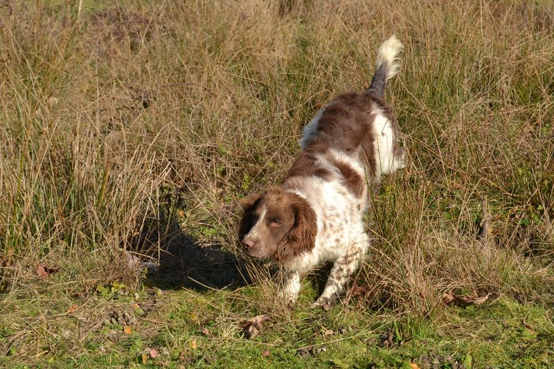 Lexy Follow English Springer Spaniel Sologne Hunters 4