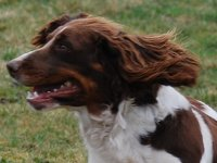 Forever English Springer Spaniel chasse Sologne Hunters 1